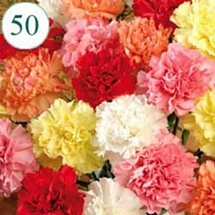 50 Mix color Carnations