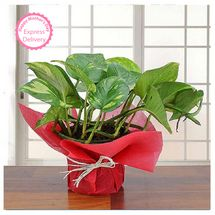 Mothers Day Spl - Lovely Money Plant